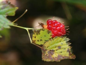 Razuberry_2